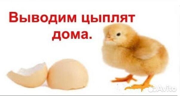 Выведения цыплят в домашних условиях