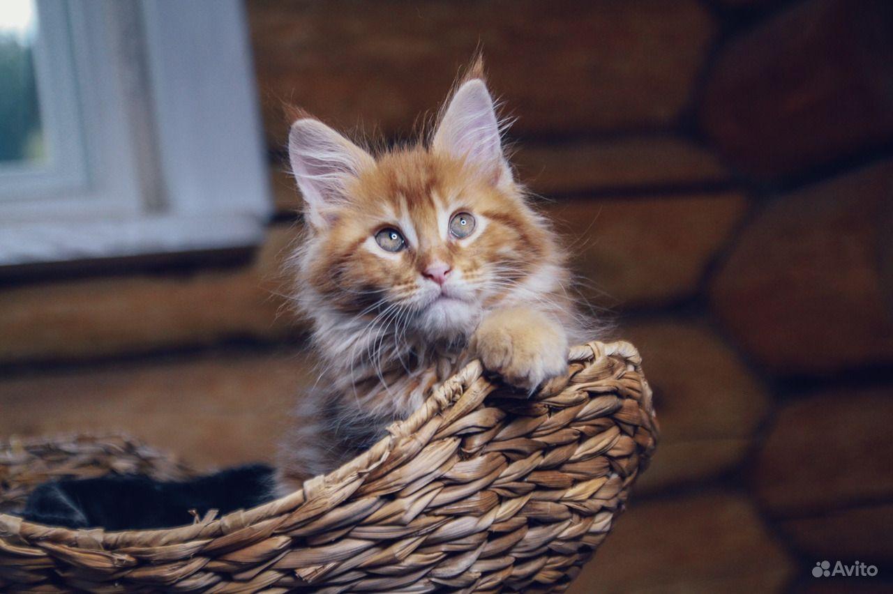 Солнечный котенок мейн-кун в Москве - фотография № 8