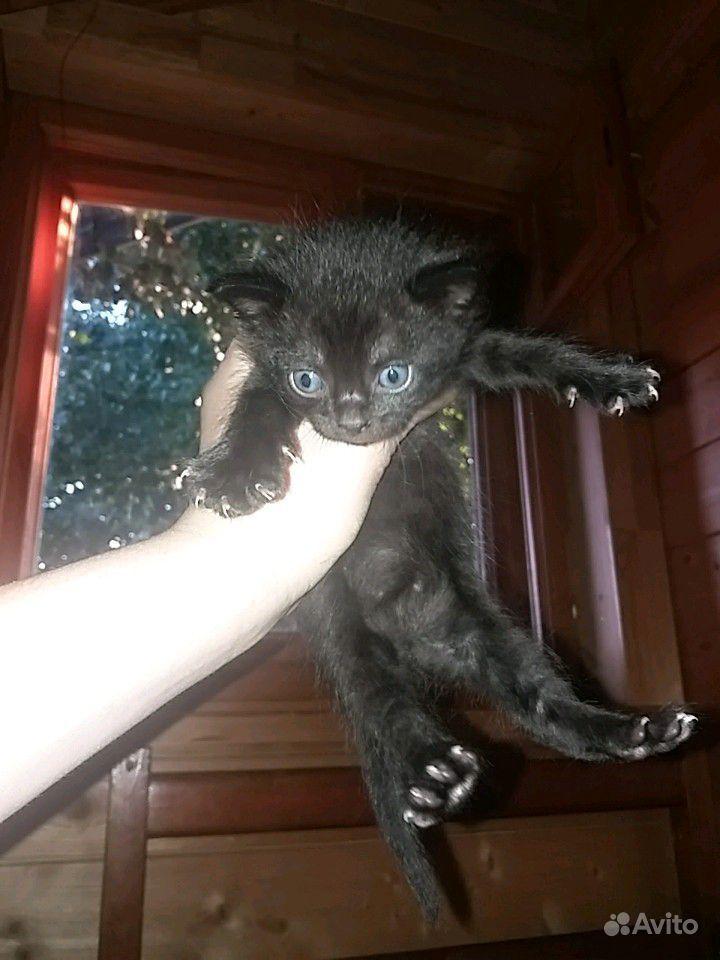 Котята, породистые, крысоловы в Зеленограде - фотография № 4