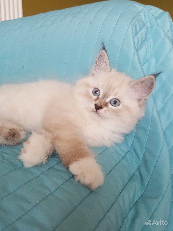 Голубоглазые невские котята