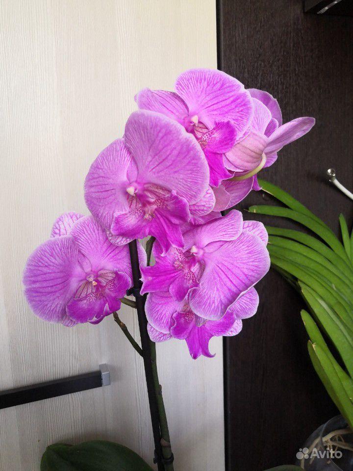 Орхидея фаленопсис купить на Зозу.ру - фотография № 7
