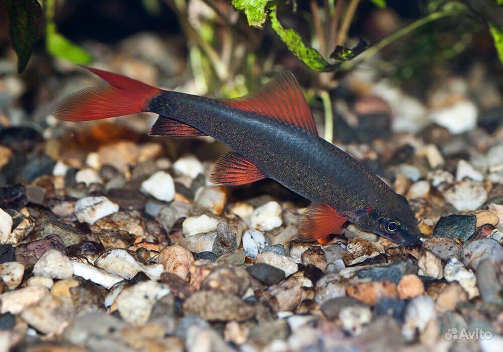 Рыбка Лабео зеленый купить на Зозу.ру - фотография № 3
