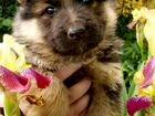 Самые красивые щенки немецкой овчарки