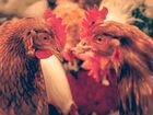 Несушки красные 8 мес