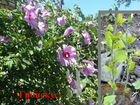 Гибискус древовидный, цветы