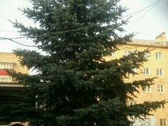 Продаётся ель высотой 10 метров