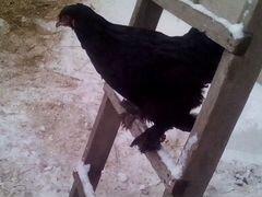 Курица брама