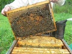 Отводки. Пчелы порода-Карника F1