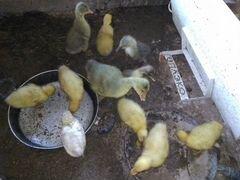 Утята, гусята и цыплята