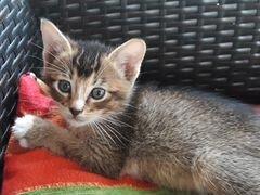 Котенок метис-абиссинец