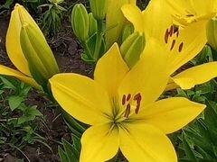 Лилия желтые и бордо