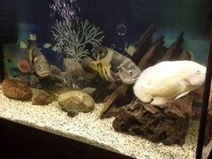 Рыбы-Астронотусы