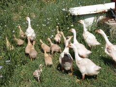 Гусята подрощенные, цыплята