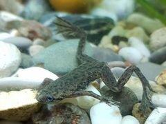 Карликовая Водяная Лягушка