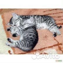 британские вискасные котята фото