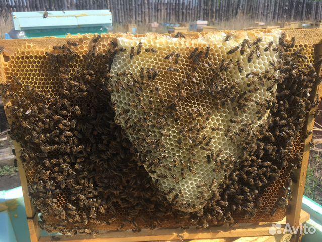 Бакфаст. Пчеломатки. Пчелопакеты. Карника. Карпатк