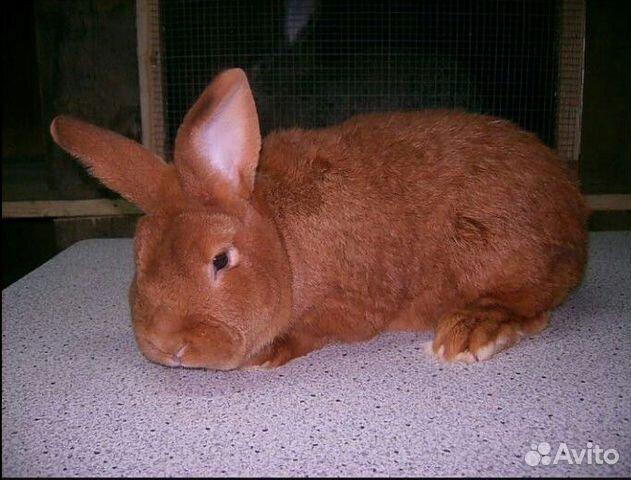 нзк кролик фото в кемеровской области данной странице можете