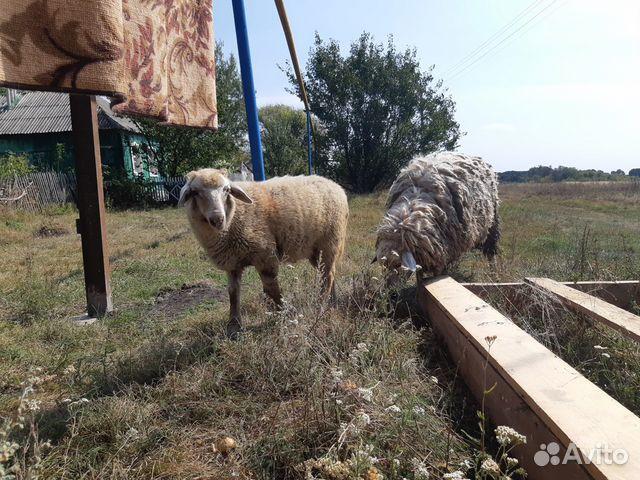 Молодой барашек, овца 89805285168 купить 2