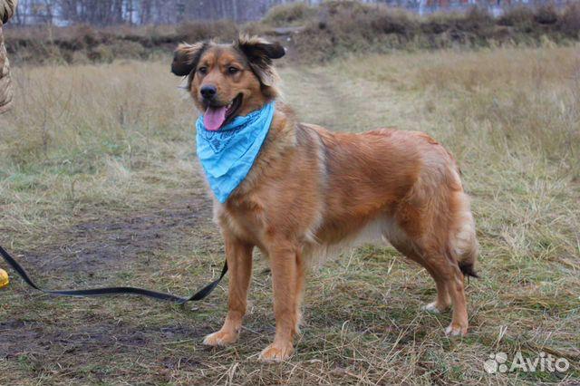 Рыжая собака красотка Джесси в дар купить на Зозу.ру - фотография № 1