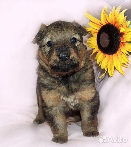Собака купить на Зозу.ру - фотография № 3