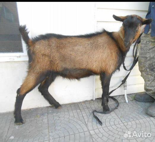 Альпийский чистопородный козел 89276229944 купить 1