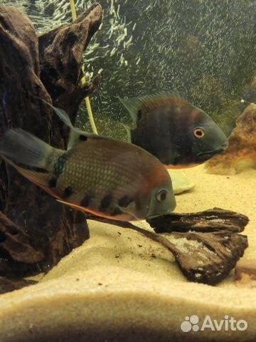 Рыба Северум роткейл красноплечий