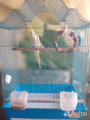 Попугай корелла  89127945244 купить 1