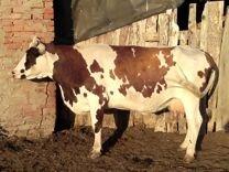 Корова айширской породы