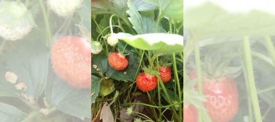 Клубника 3 урожая купить в Свердловской области | Товары для дома и дачи | Авито