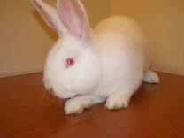 Крольчат,кроликов бабочка, новозеладская