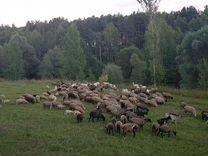 Бараны овцы на курбан,назир,акыйка