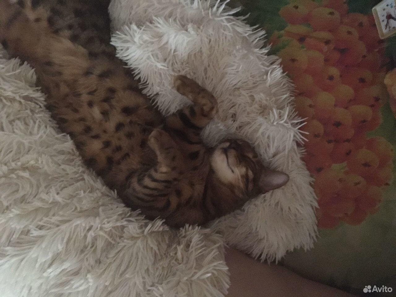 Бенгальский кот  89226434050 купить 6