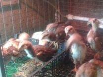 Яйцо, цыплята. Орловская ситцевая