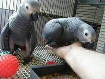 Африканские серые попугаи на продажу
