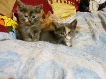 Серебристые плюшевые котята - сестрички, 1,5мес
