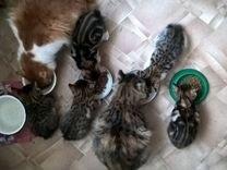 Чистокровные котята Курильского бобтейла