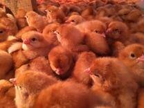 Цыплята кур несушек подрощенные
