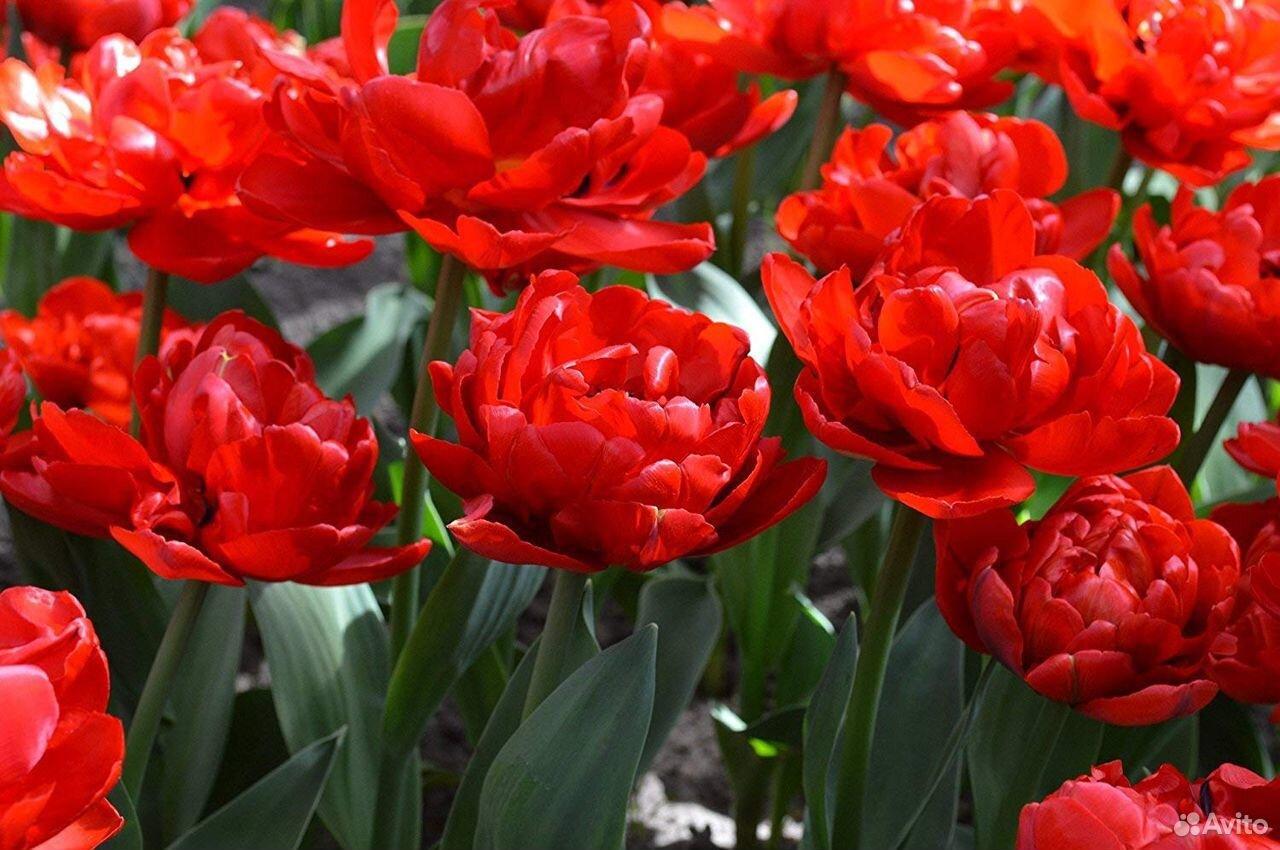 Тюльпаны  89092263980 купить 4
